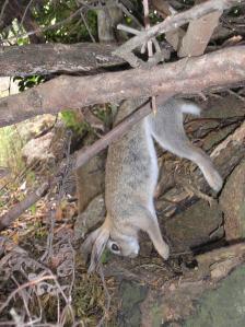 Coniglio selvatico preso al laccio, Isola del Giglio