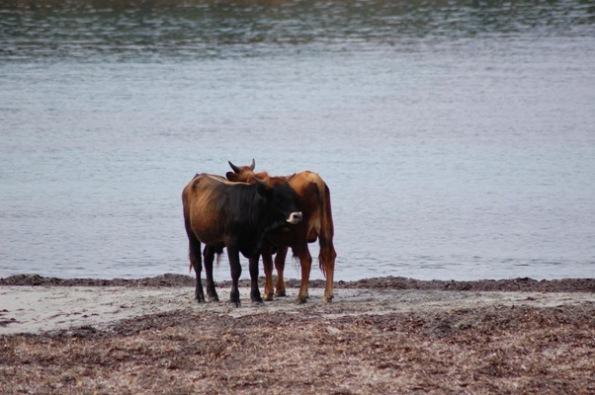 bovini in spiaggia