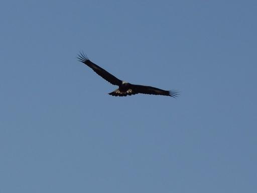 Aquila reale (Aquila chrysaetos)