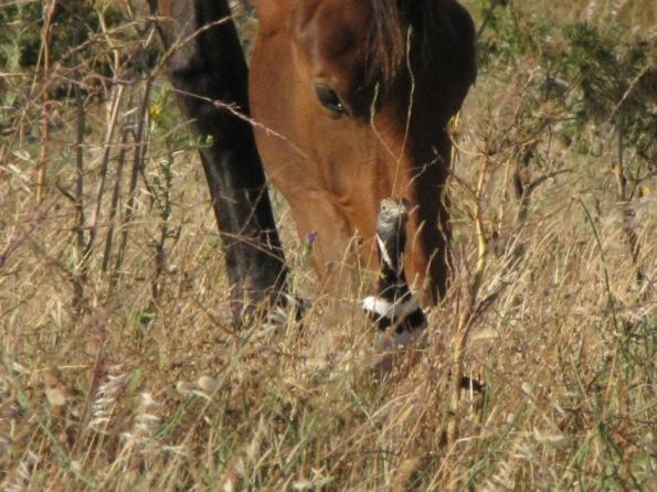 Cavallo e Gallina prataiola
