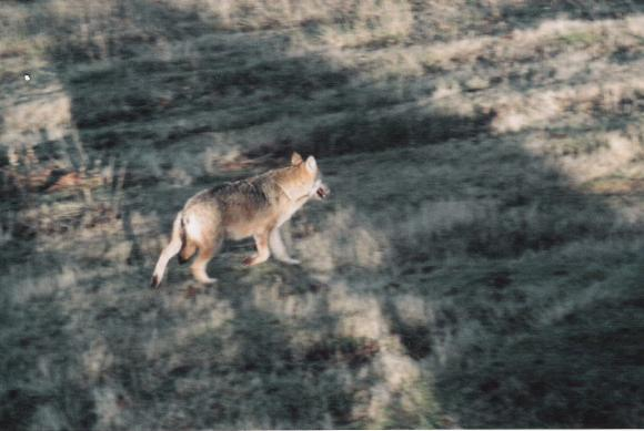 Lupo italiano o appenninico (Canis lupus italicus)
