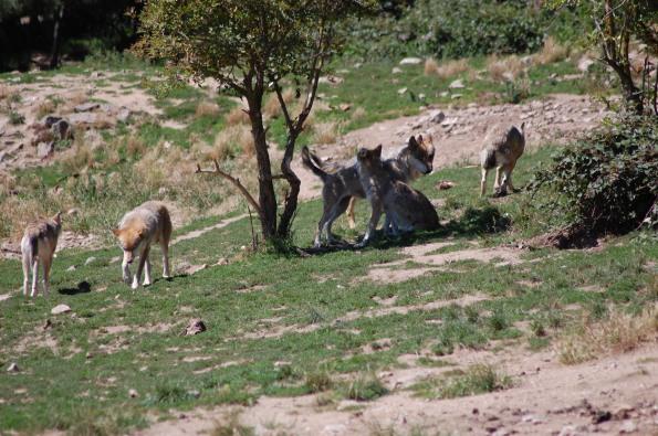 branco di Lupo europeo (Canis lupus lupus)