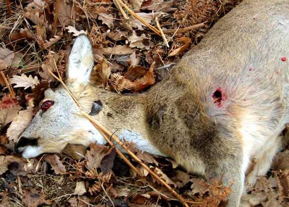 Capriolo ucciso, a terra