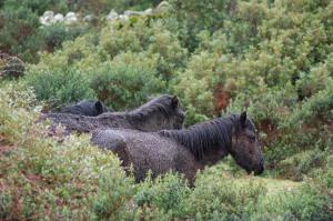 Giara, Cavallini della Giara (Equus caballus giarae)