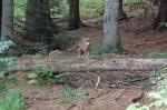 Lupo europeo (Canis lupuslupus)