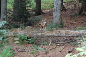 Lupo europeo (Canis lupus lupus)