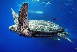 Tartaruga liuto (Dermochelys coriacea)