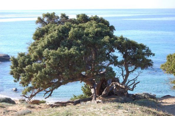 Sardegna, ginepro sul mare