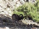 Muflone (Ovis musimon)