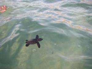 la piccola Tartaruga marina (Caretta caretta) salvata a Costa Rey (2011)