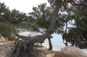 Ginepro (Juniperus communis) sul mare