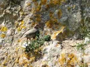 Pernice sarda (Alectoris barbara)
