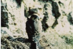 Falco della Regina (Falcoeleonorae)