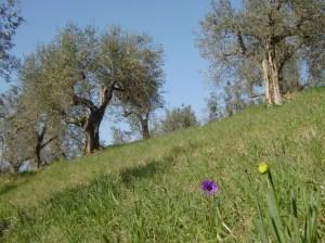 Toscana, oliveto