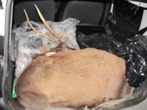 Cervo sardo ucciso (Pattada, febbraio 2012)