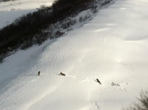 branco di Lupi (Canis lupus) nella neve