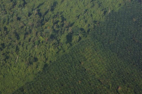 Malesia, Sabah, piantagione di palma da olio in area deforestata
