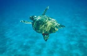 Tartaruga marina (Caretta caretta)