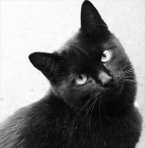 Gatto (Felis silvestris catus)