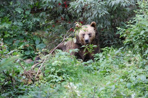 Orso bruno (Ursus arctos)