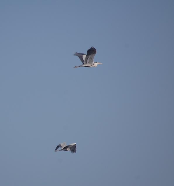 Aironi cenerini (Ardea cinerea) in volo