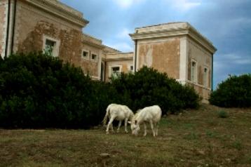 Asinara, asini bianchi e vecchie strutture carcerarie (foto Fiorella Sanna)
