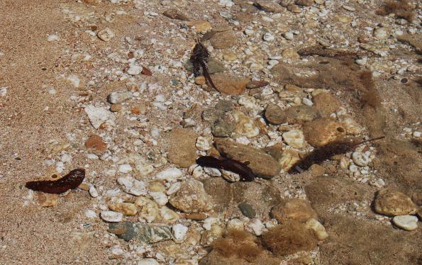 Oloturia (Holothuria poli)