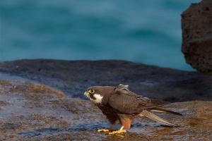 Falco della Regina (Falco eleonorae)