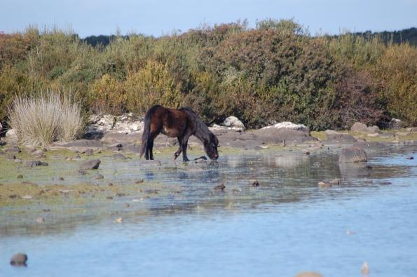 Cavallino della Giara (Equus caballus jara) all'abbeverata