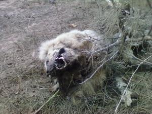 Calasetta, Cussorgia, povero cane morto per avvelenamento