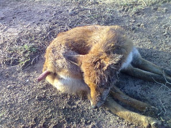 Calasetta, Cussorgia, Volpe (Vulpes vulpes) avvelenata (ottobre 2012)