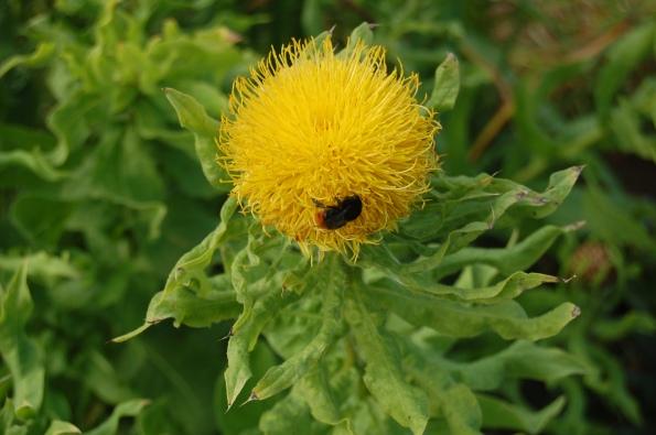 Bombo (gen. Bombus) su un fiore