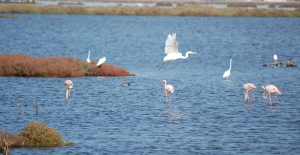 Airone bianco maggiore, Fenicottero rosa, Garzetta