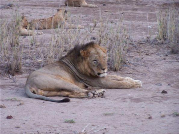 Leone (Panthera leo).   I Leoni stanno certo meglio nella savana piuttosto che nei circhi.