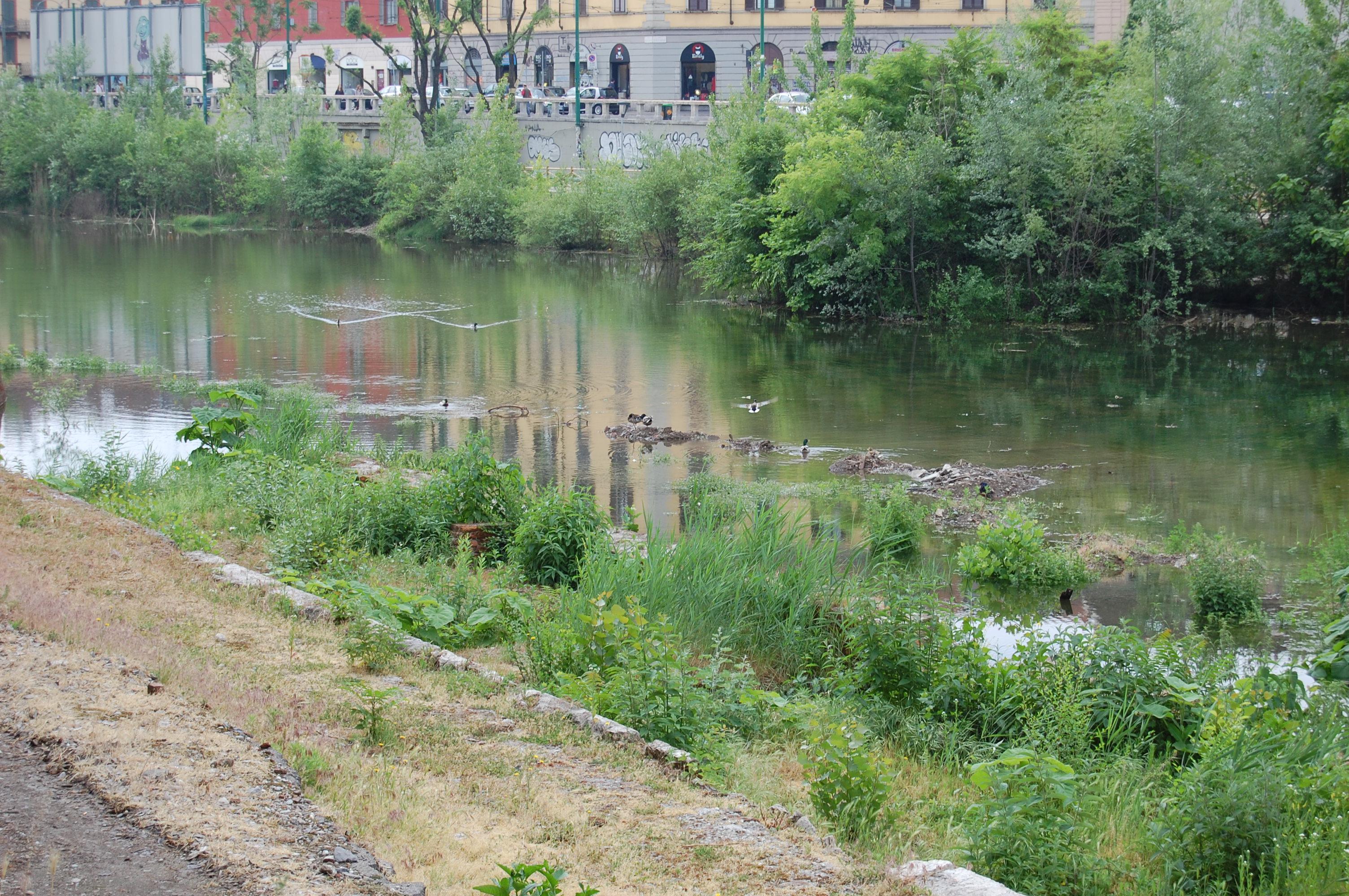 Milano, Darsena dei Navigli,  avifauna acquatica