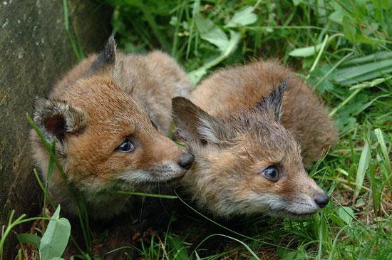 Volpe (Vulpes vulpes), cuccioli