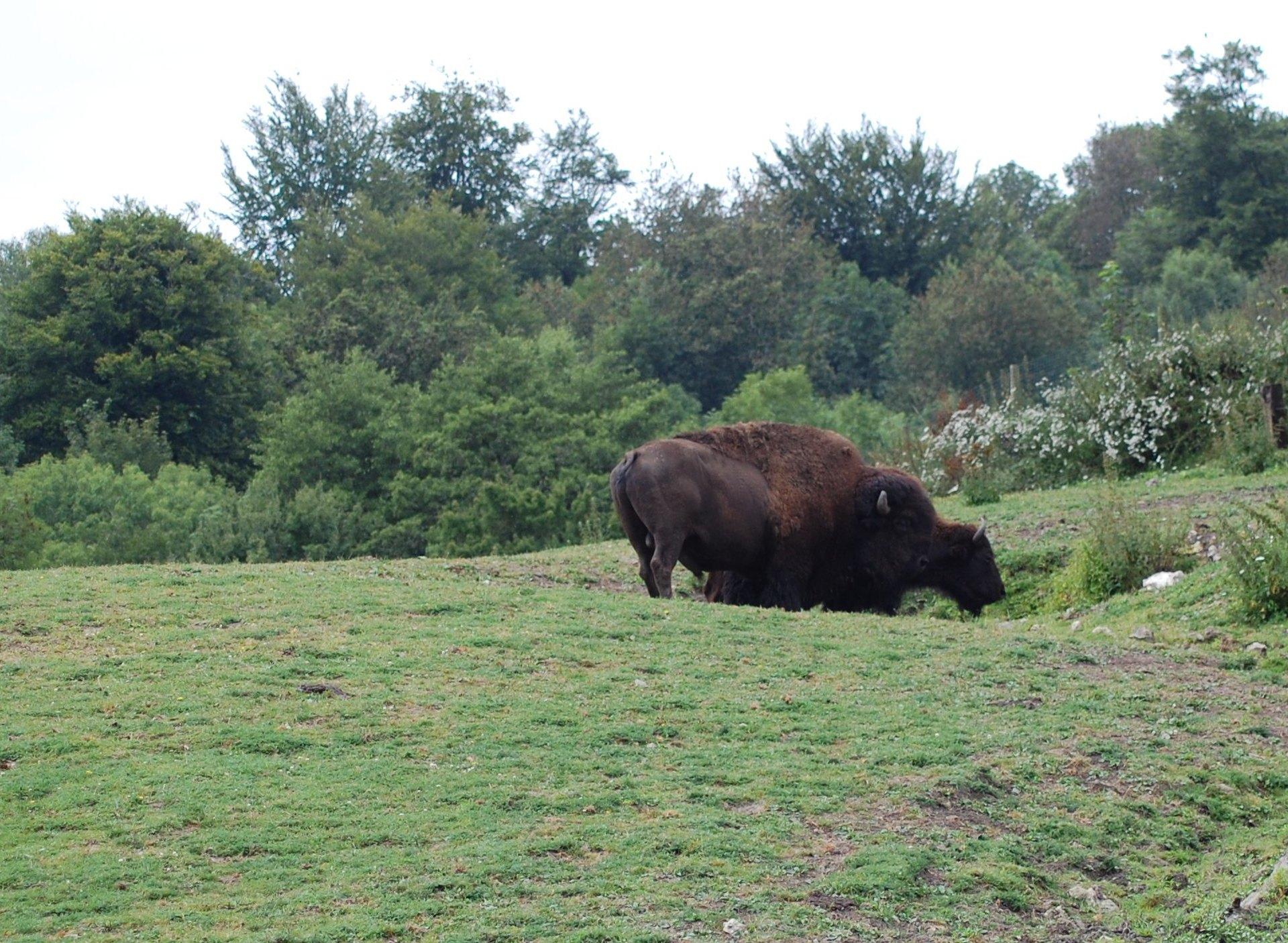 Bisonti europei (Bison bonasus)