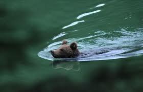 Lago di Prà da Stua (Avio, TN), Orso bruno (Ursus arctos)