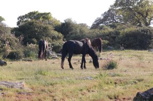 Cavallini della Giara (Equus caballus jarae) al pascolo a Pauli Majori