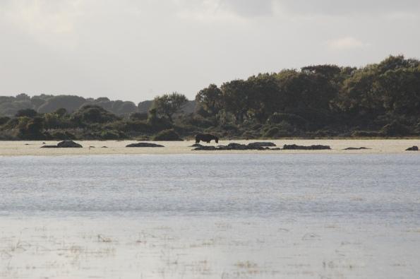 Cavallino della Giara (Equus caballus jarae) nelle acque di Pauli Piccia
