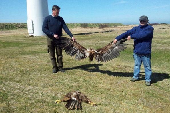 Danimarca, rapace ucciso da aerogeneratore eolico (6 maggio 2013)