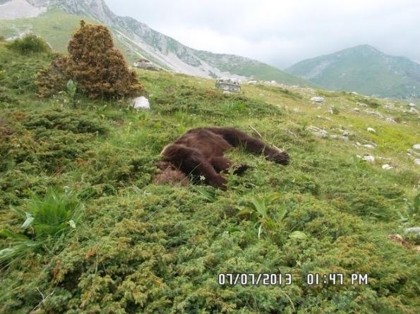 Monte Morrone, Orso bruno marsicano (Ursus arctos marsicanus) ucciso (foto Il Centro)