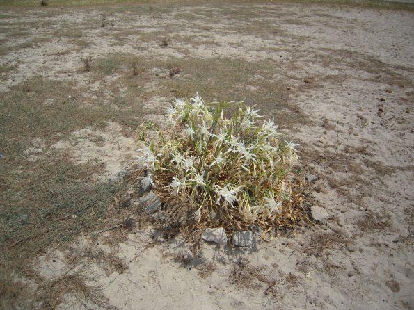 Giglio di mare (Pancratium maritimum)