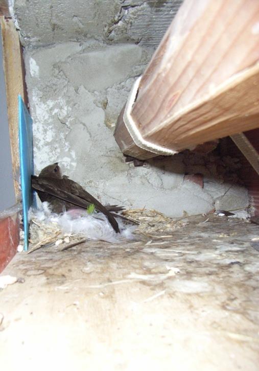 Cagliari, nido di Rondone pallido (Apus apus) nel cassone della serranda