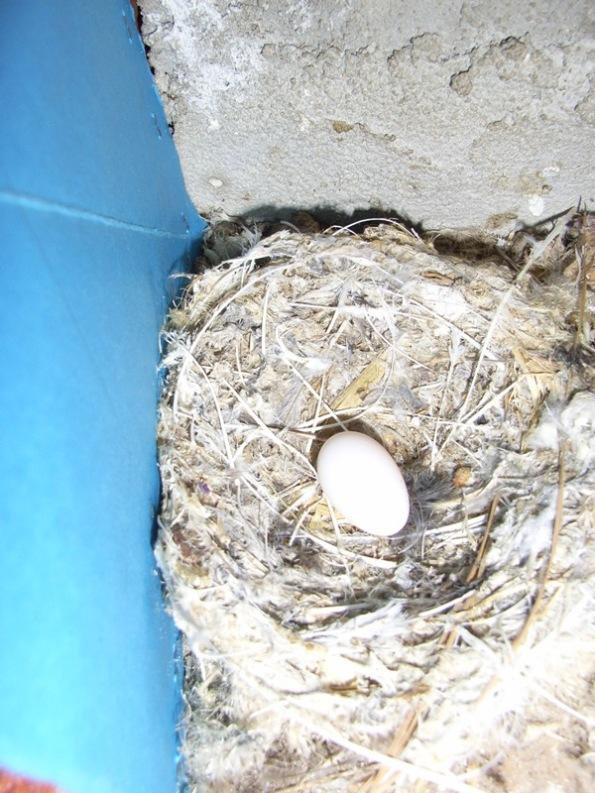 Cagliari, uovo di Rondone pallido (Apus pallidus) nel nido