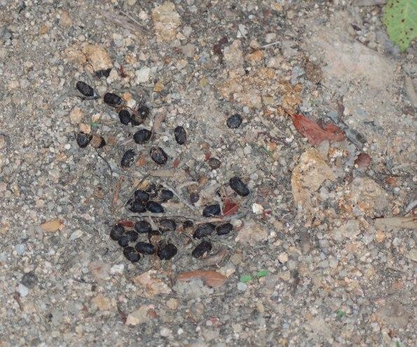 escrementi di Cervo sardo (Cervus elaphus corsicanus)
