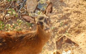 piccolo di Cervo sardo (Cervus elaphus corsicanus)