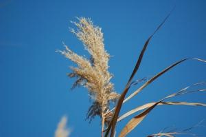 canna (al vento)