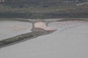 "Cagliari, parco naturale regionale ""Molentargius - Saline"", nidificazione Fenicottero rosa (Phoenicopterus roseus)"