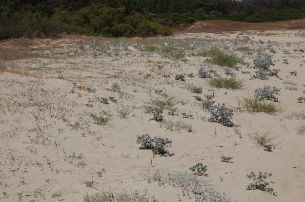 spiaggia, vegetazione pioniera